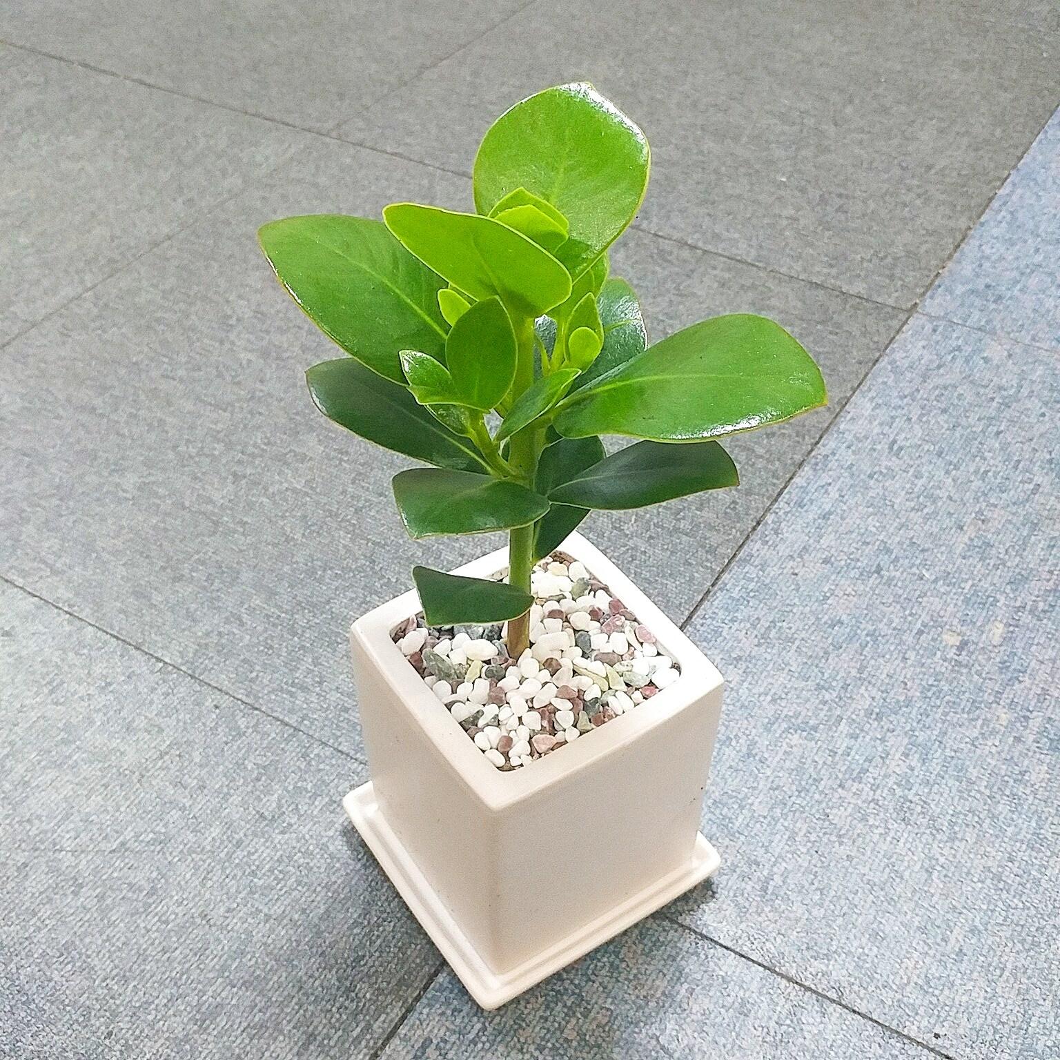 꽃피우는청년 키우기 쉬운 실내공기정화식물 사각 화이트 화분 (무광), 1개, 크루시아