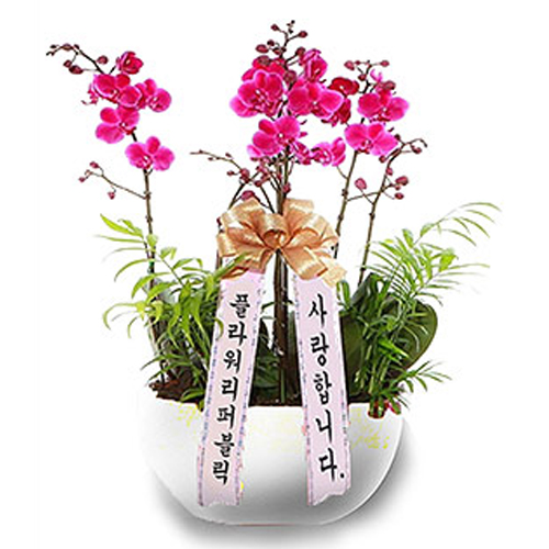 플라워리퍼블릭 개업화분 개업식 공기정화식물 관엽식물 전국꽃배달, 만천홍, 1개