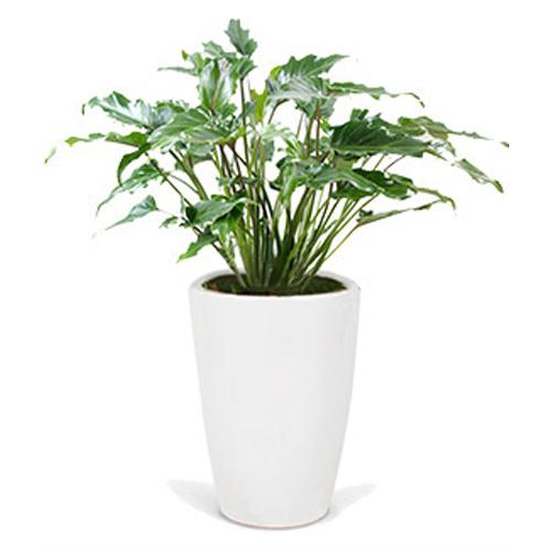 플라워리퍼블릭 개업화분 개업식 공기정화식물 관엽식물 전국꽃배달, 셀렘, 1개