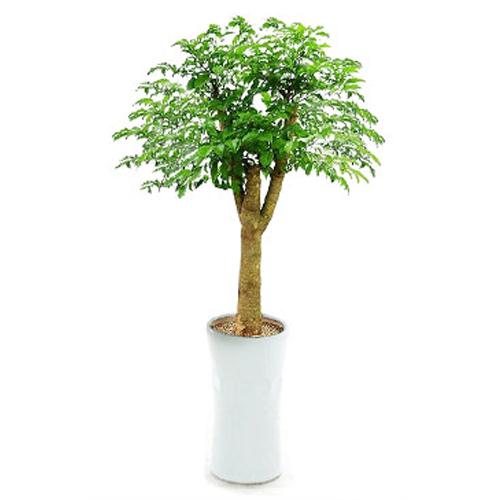 플라워리퍼블릭 개업화분 개업식 공기정화식물 관엽식물 전국꽃배달, 해피트리(대), 1개