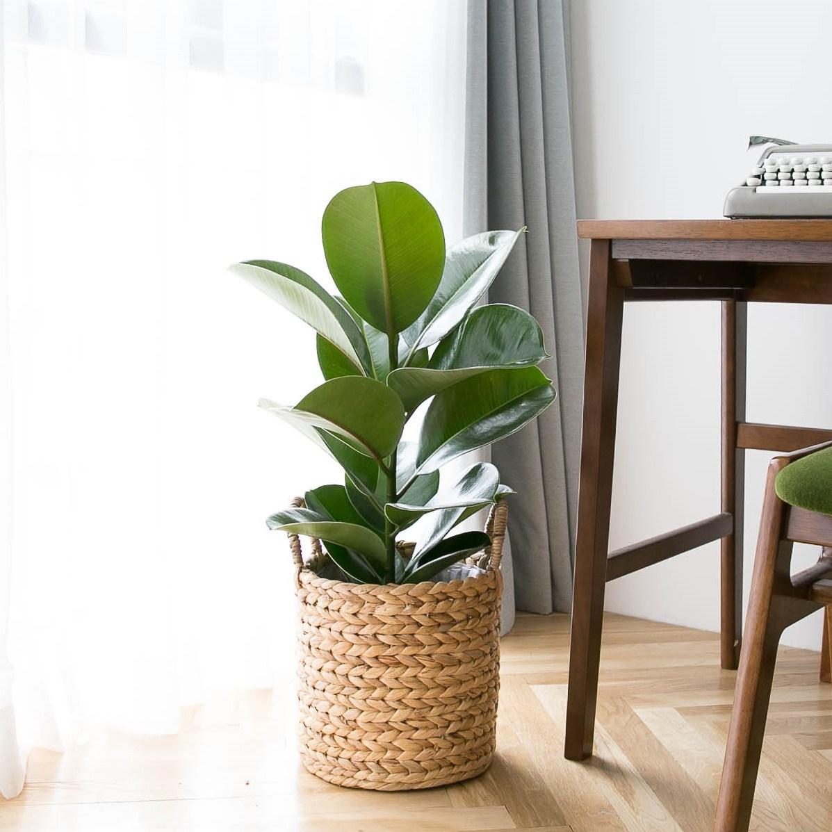 피움플랜트 극락조 외 14종 인테리어식물, 10-2 (중형)인도고무나무 + 라탄바구니, 1set