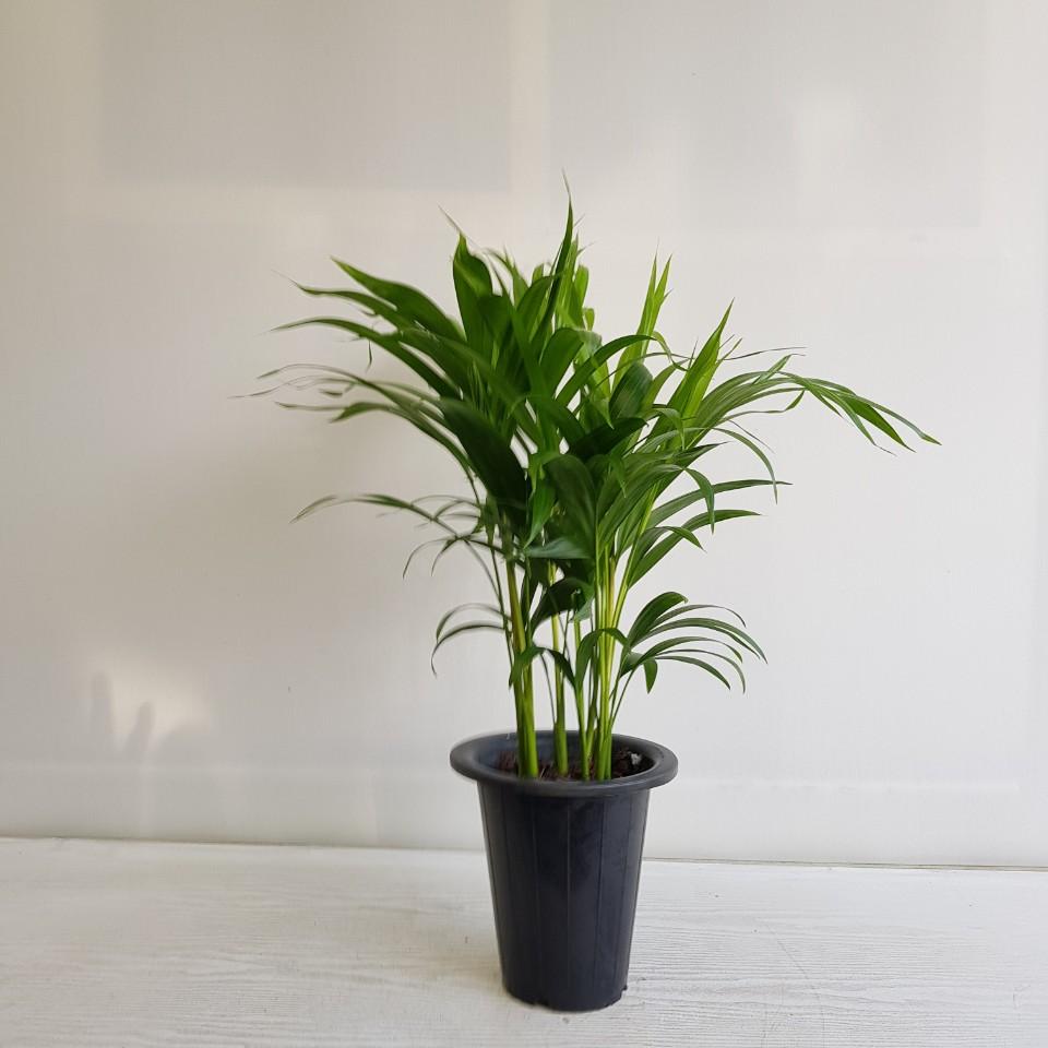 온누리농원 아레카야자 초특가 공기정화식물