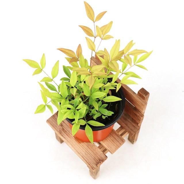 갑조네 남천 공기정화식물 남천나무 인테리어 화분 식물