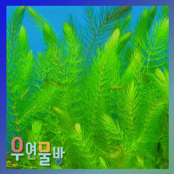 [우연물방] 마츠모(붕어마름) 10촉 수초용품 어항용품 어항수초, 1개