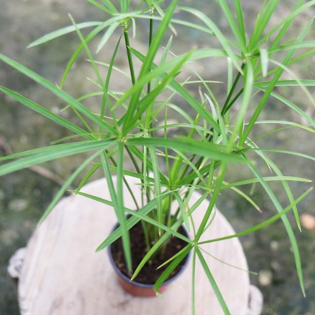 갑조네 시페루스 수경재배 수생식물 공기정화식물