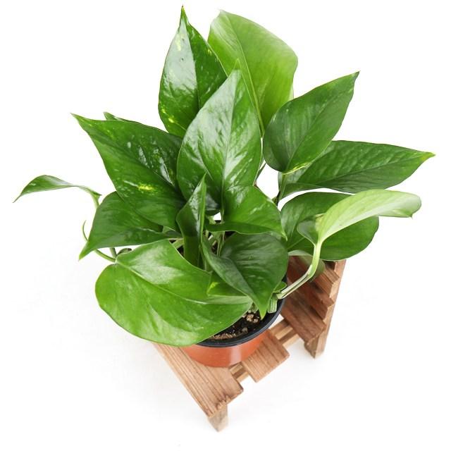 갑조네 공기정화식물 생화 화분 인테리어 식물 미세먼지제거 먼지정화, 스킨답서스, 1개