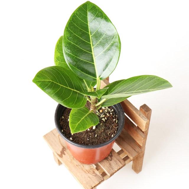 갑조네 공기정화식물 생화 화분 인테리어 식물 미세먼지제거 먼지정화, 뱅갈고무나무, 1개