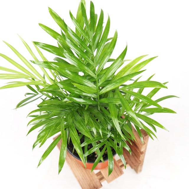 갑조네 공기정화식물 생화 화분 인테리어 식물 미세먼지제거 먼지정화, 테이블야자, 1개