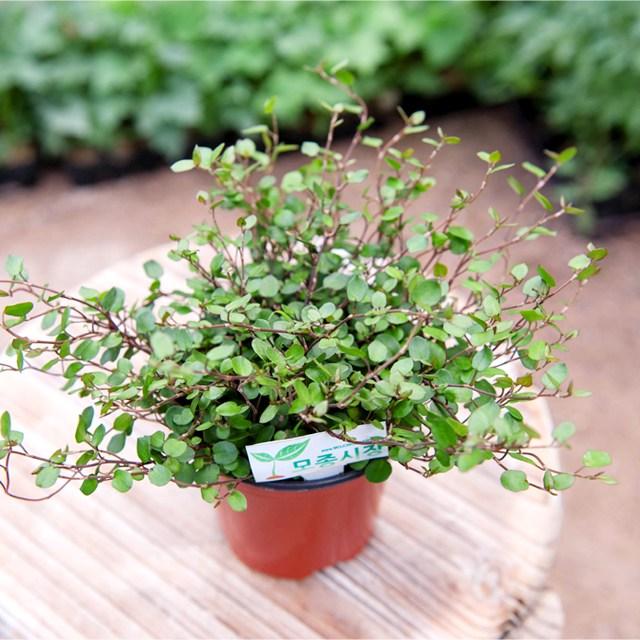 갑조네 공기정화식물 생화 화분 인테리어 식물 미세먼지제거 먼지정화, 트리안, 1개