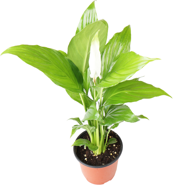 갑조네 공기정화식물 생화 화분 인테리어 식물 미세먼지제거 먼지정화, 스파티필름, 1개