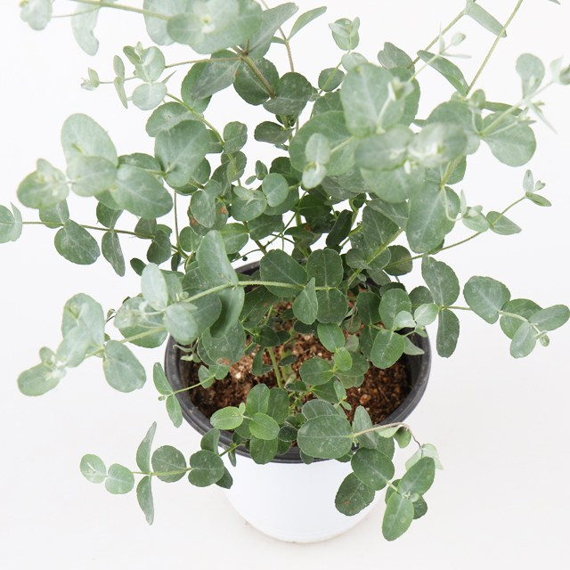 갑조네 허브 향기나는식물 로즈마리 레몬밤 바질 허브화분 공기정화식물, 유칼립투스(중), 1개