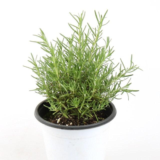 갑조네 허브 향기나는식물 로즈마리 레몬밤 바질 허브화분 공기정화식물, 로즈마리(중), 1개