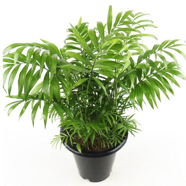 갑조네 공기정화식물 중품 중형 실내공기정화식물 나무화분 미세먼지제거, 테이블야자(중품), 1개