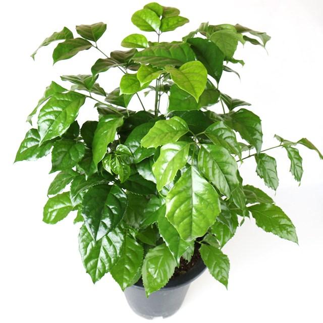 갑조네 공기정화식물 중품 중형 실내공기정화식물 나무화분 미세먼지제거, 녹보수(중품), 1개