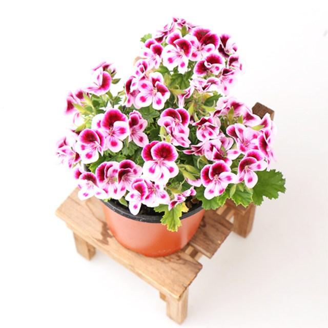 갑조네 랜디 봄꽃 사계절꽃 제라늄 향기나는식물