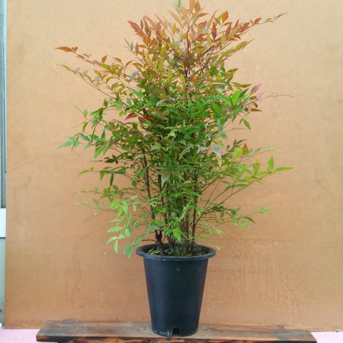 [용이네 화원] 사계절 멋쟁이 남천나무 중형 250
