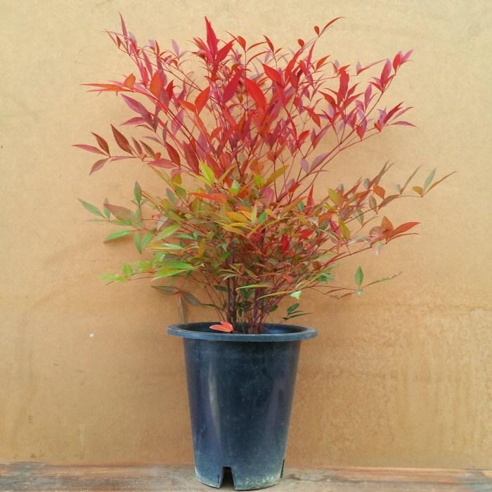 [용이네 화원] 사계절 멋쟁이 남천나무 150