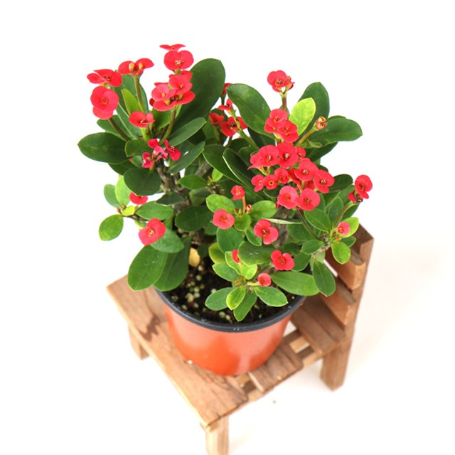 갑조네 꽃 생화 꽃화분 공기정화식물, 꽃기린(빨간색), 1개