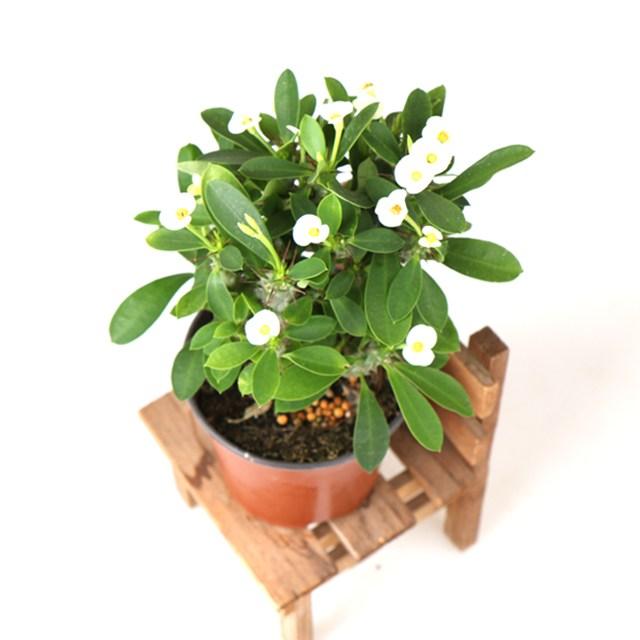 갑조네 꽃 생화 꽃화분 공기정화식물, 꽃기린(흰색), 1개