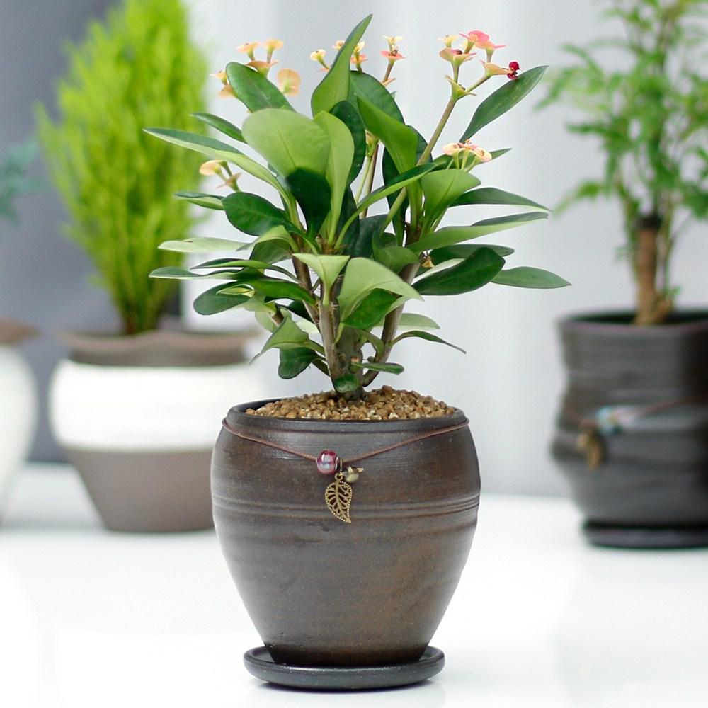 아침향기 공기정화식물 옹기화분, 44.꽃기린