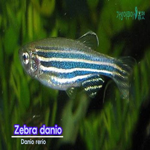 (주)가성아쿠아홈펫 제브라다니오 20마리 열대어 키우기 쉬운 물고기