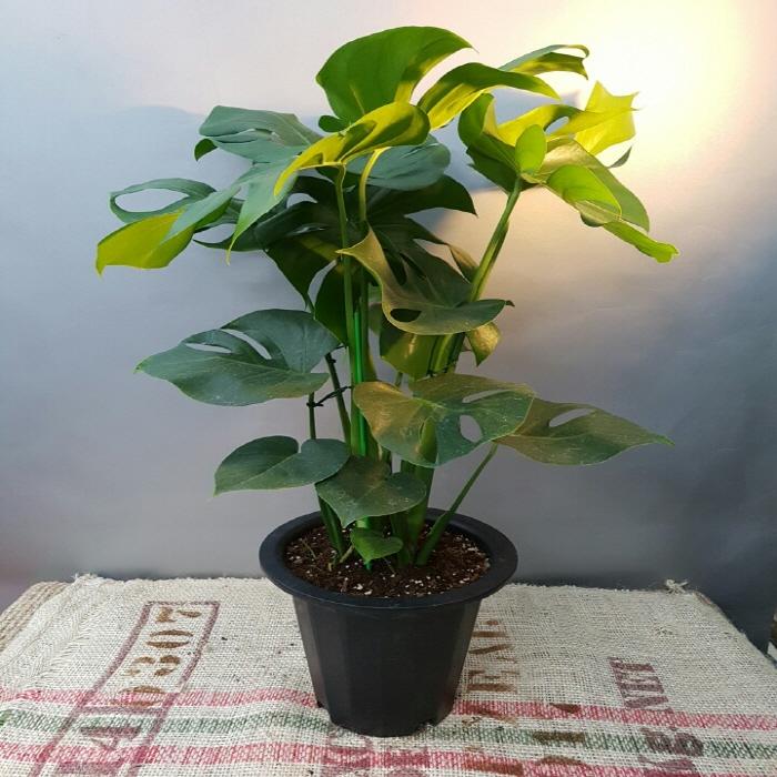에덴농원 몬스테라(대품) 어느곳에서도 부작용이 없는아이에요 공기정화식물