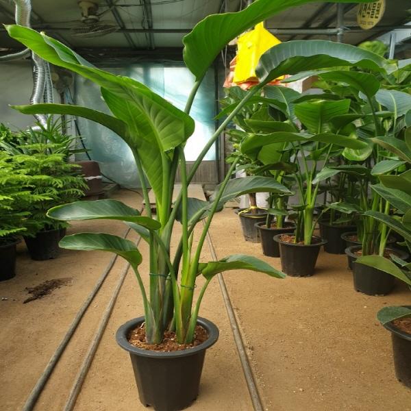 에덴농원 여인초(극락조) 대품(잎이넓어 이국적인 분위기와 미세먼지제거최고에요)