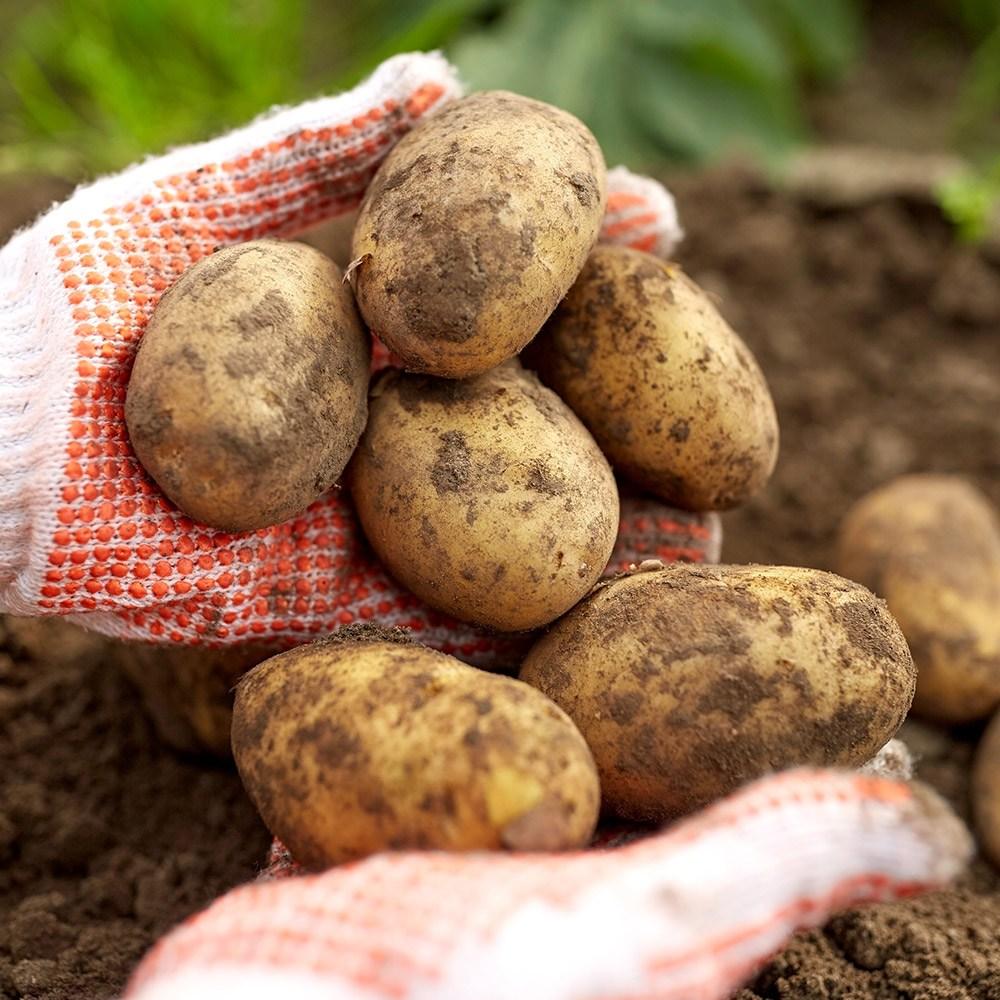 미쁜스토어 포실포실한 2020년 햇 감자 3kg 5kg 10kg 20kg, 1개, 감자 5kg 중(통구이용)