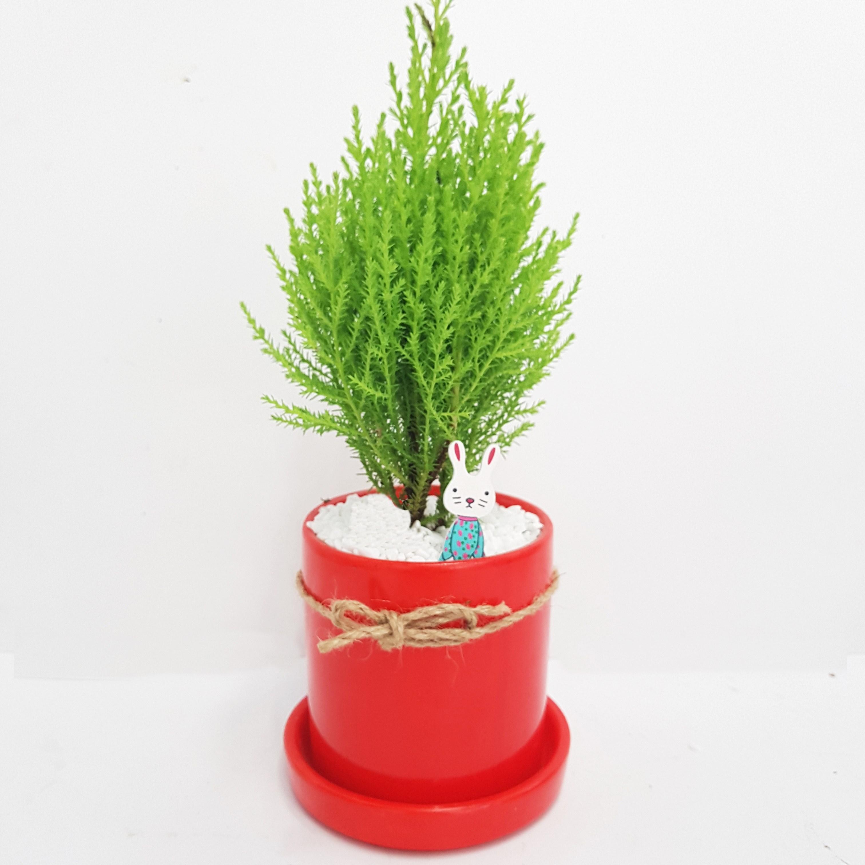 트리앤 공기정화식물 고급원통화분 율마 1개, 01.고급원통화분 율마 빨강 1개