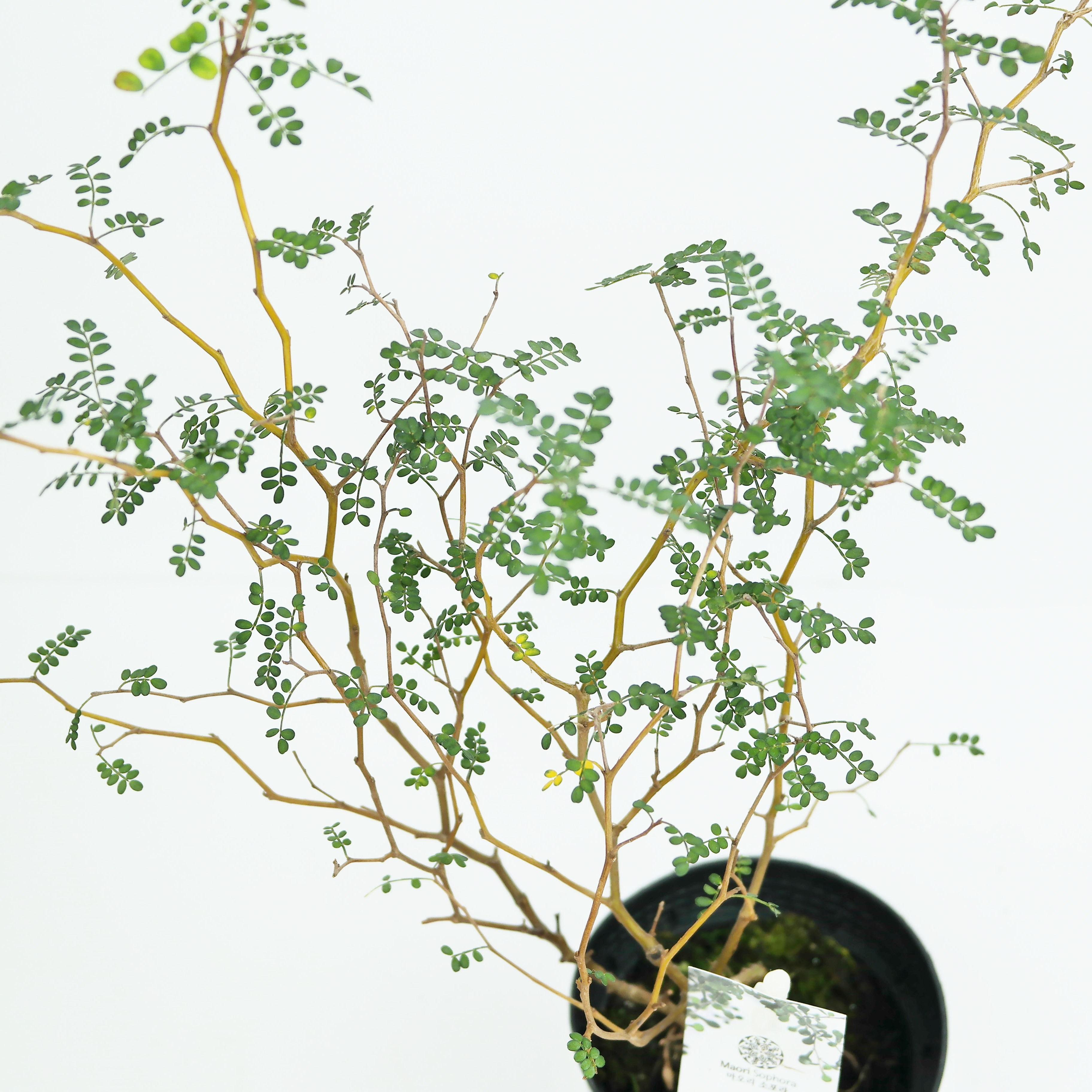미니농장 마오리 소포라 뉴질랜드 야생화 인테리어 식물