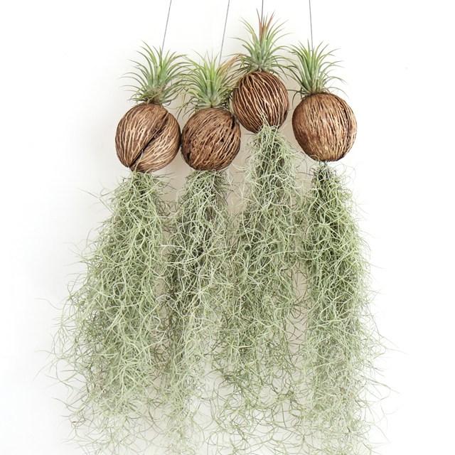 갑조네 파인애플 수염틸란드시아 공기정화식물 미세먼지제거, 파인애플 수염틸란드시아(코코넛+이오난사), 1개