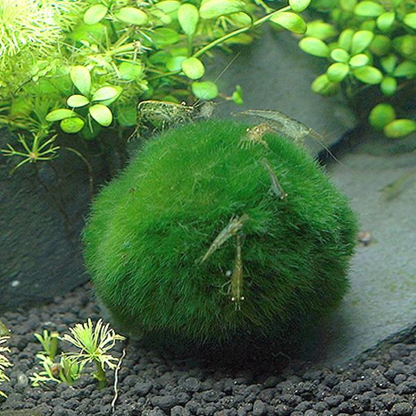 모스볼 (5~8cm) - (마리모 어항수초), 단품