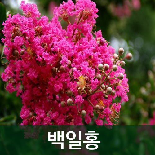 순희농장 백일홍나무 배롱나무묘목, 20년생, 1개