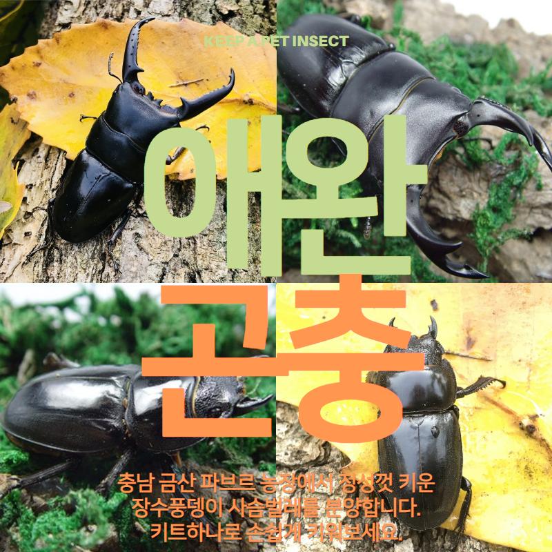 벅스피드 넓적 사슴벌레 _ 초대형 한쌍(수컷 73mm이상) 암수2마리, 1마리