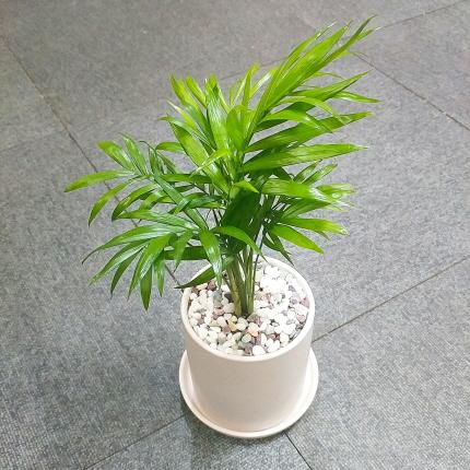 꽃피우는청년 새집증후군 미세먼지 제거 실내공기정화식물 원형 화이트 화분 (무광), 테이블야자