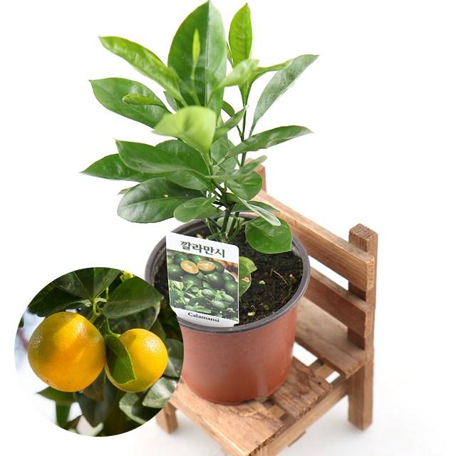 갑조네 깔라만시 나무 공기정화식물 미세먼지 먼지먹는식물 묘목 깔라만씨 칼라만시 칼라만씨