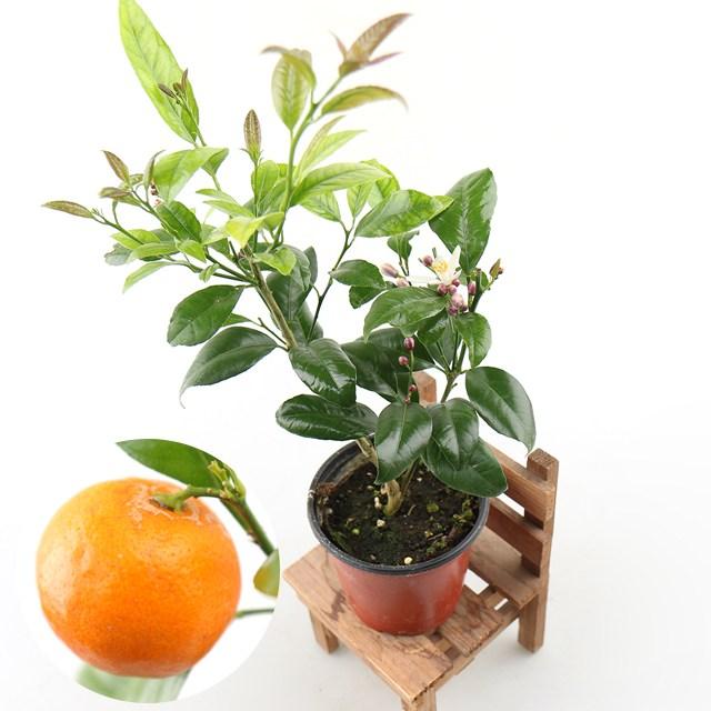 갑조네 오렌지레몬나무 (소) 황금레몬 레몬나무 오렌지 레몬키우기 비타민C 레몬트리 레몬 묘목 공기정화식물 식용식물