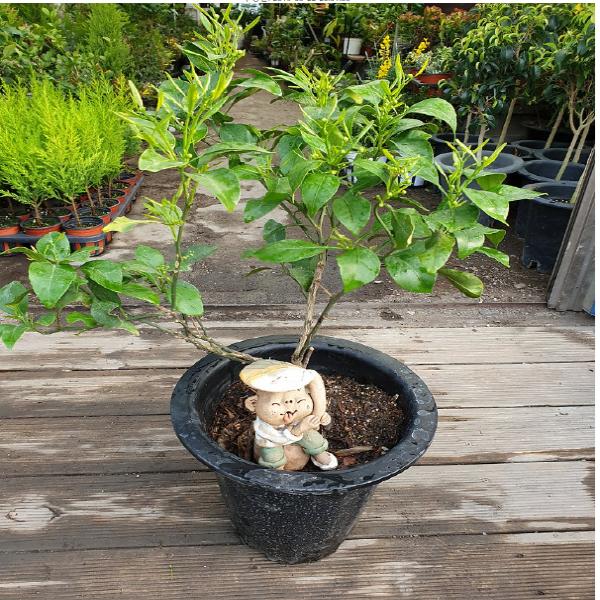 에덴농원 귤나무(중품) 꽃이피고나면 열매가 맺어요 (향기도 무지 좋아요) 높이 55-60