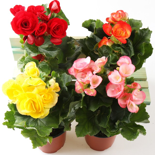 갑조네 꽃베고니아(5개) 공기정화식물 꽃있는 식물 봄꽃 실내공기정화