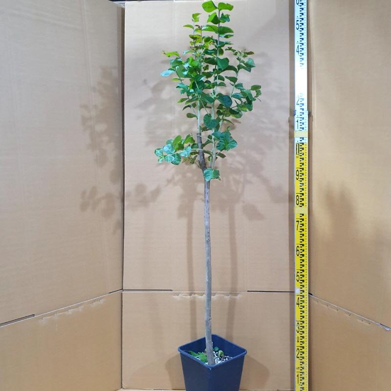 [활엽수] 배롱나무(다이너마이트) 직경2~3cm 화분묘목, 1개